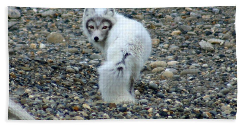 Alaska Hand Towel featuring the photograph Arctic Fox by Anthony Jones
