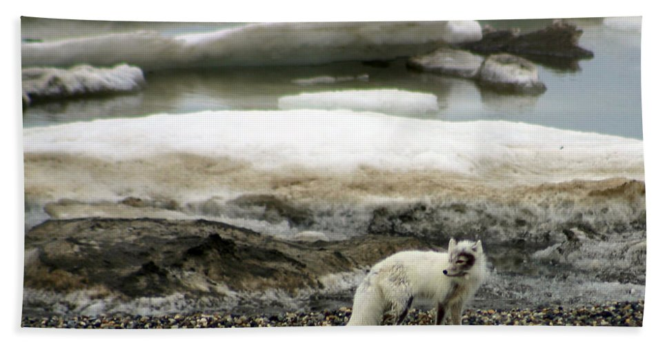 Fox Bath Towel featuring the photograph Arctic Fox By Frozen Ocean by Anthony Jones