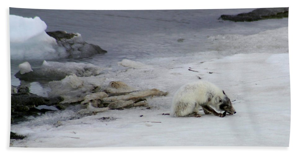 Arctic Fox Bath Towel featuring the photograph Arctic Fox Eating by Anthony Jones
