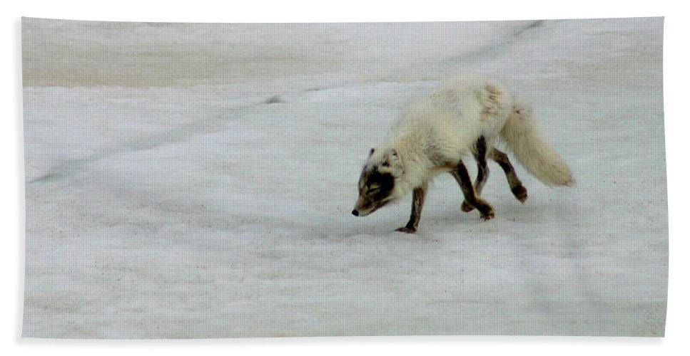 Arctic Fox Bath Towel featuring the photograph Arctic Fox On Ice by Anthony Jones