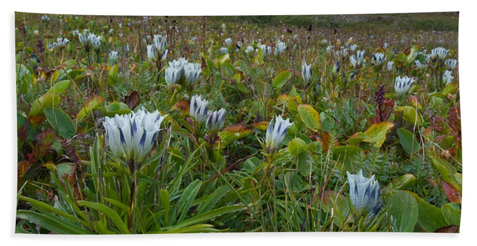 Summer Hand Towel featuring the photograph Arctic Gentian Blooming In The Alpine by Cascade Colors