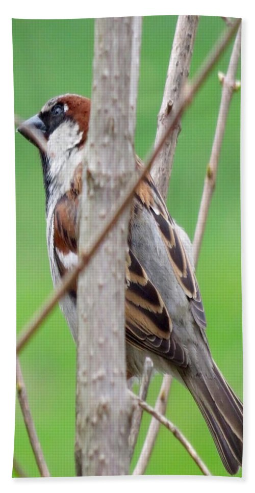 Sparrow Hand Towel featuring the photograph Perching Sparrow by Beth Myer