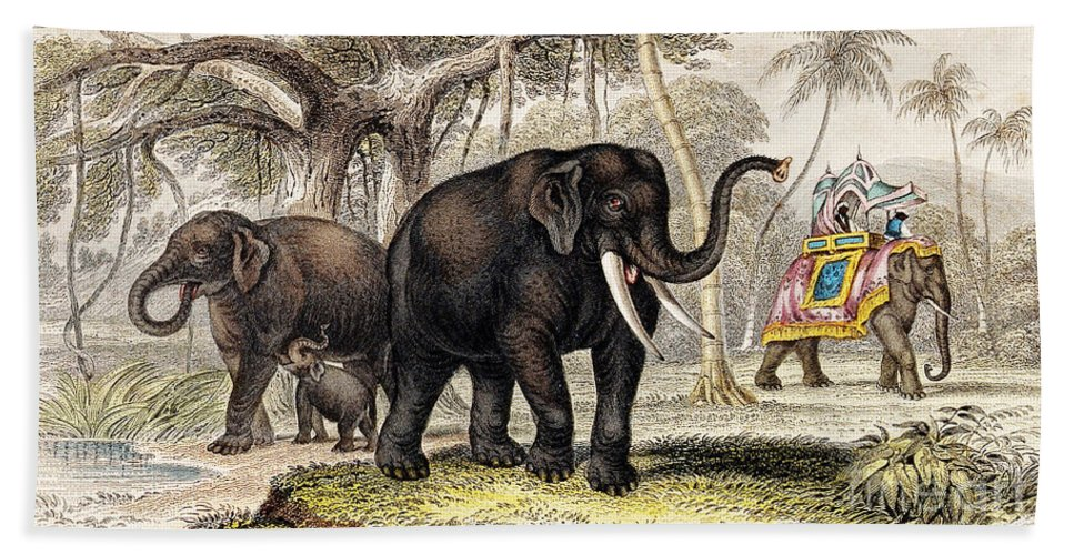 Historic Bath Sheet featuring the photograph Asiatic Elephant With Young, 19th by Wellcome Images