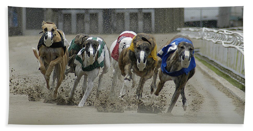 Greyhounds Hand Towel featuring the photograph At The Track by D'Arcy Evans