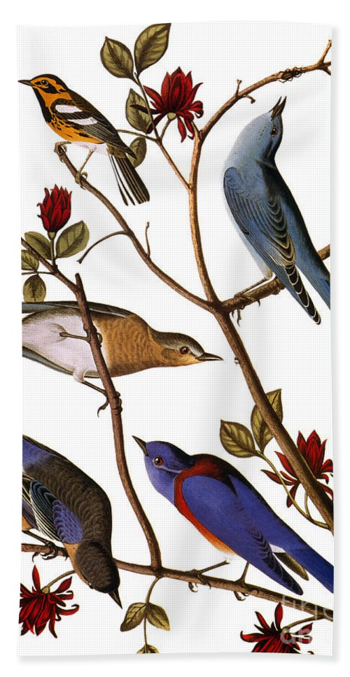 1838 Hand Towel featuring the photograph Audubon: Bluebirds by Granger