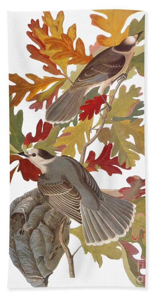 1838 Hand Towel featuring the photograph Audubon: Jay by Granger
