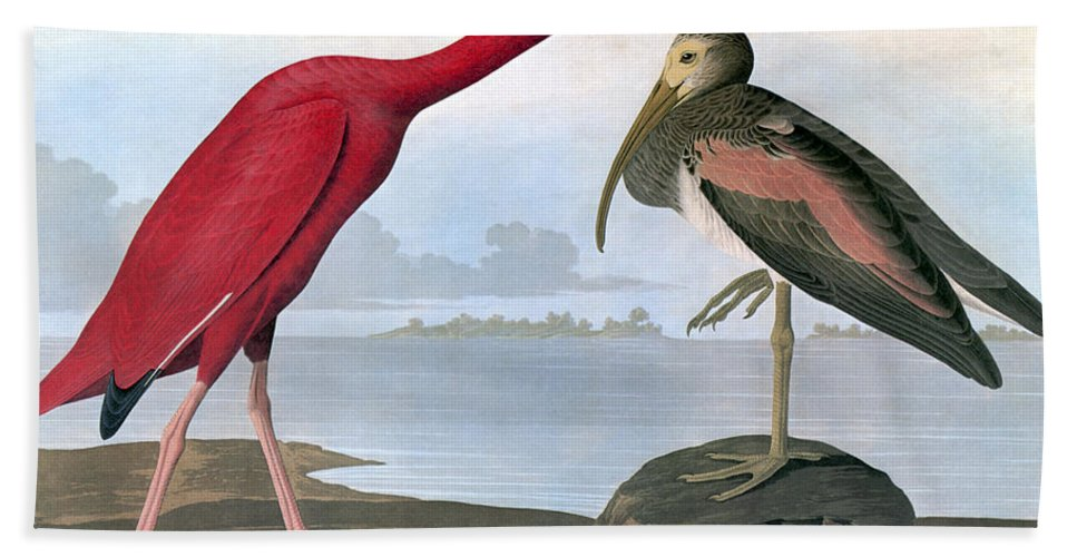 1820s Hand Towel featuring the photograph Audubon: Scarlet Ibis by Granger