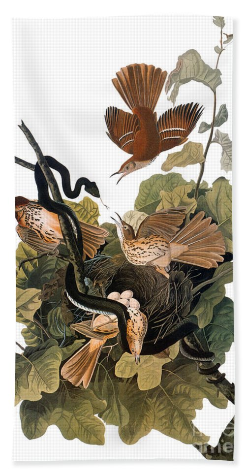 1838 Hand Towel featuring the photograph Audubon: Thrasher by Granger