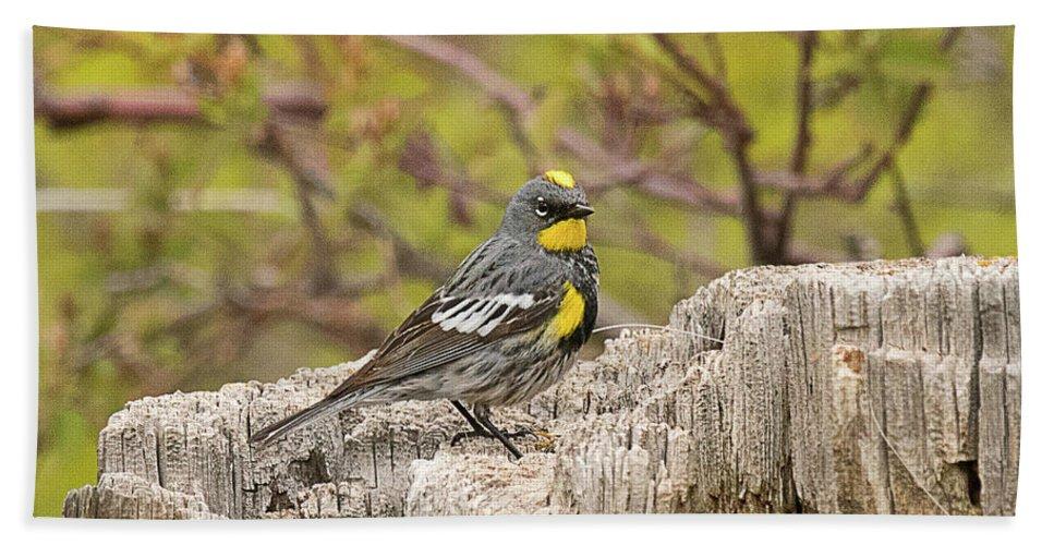 Bird Bath Sheet featuring the photograph Audubon's Yellow Rumped Warbler by Dennis Hammer