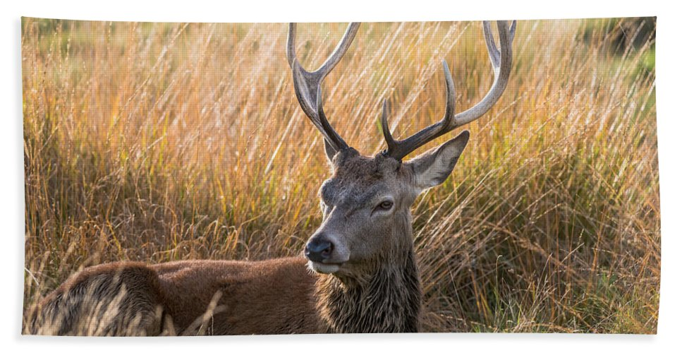 Richmond Bath Sheet featuring the photograph Autumn Deer by Matt Malloy