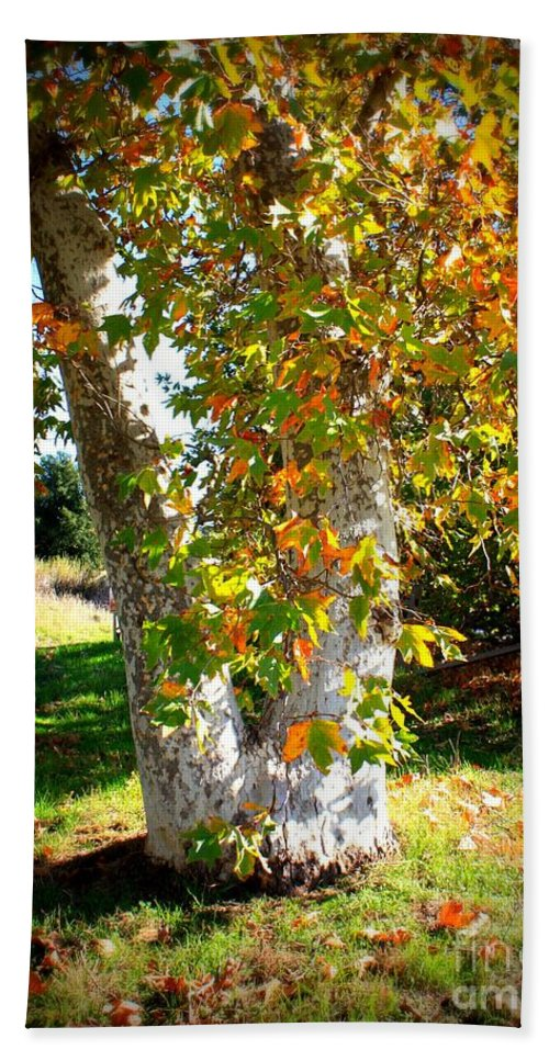 Autumn Tree Hand Towel featuring the photograph Autumn Sycamore Tree by Carol Groenen