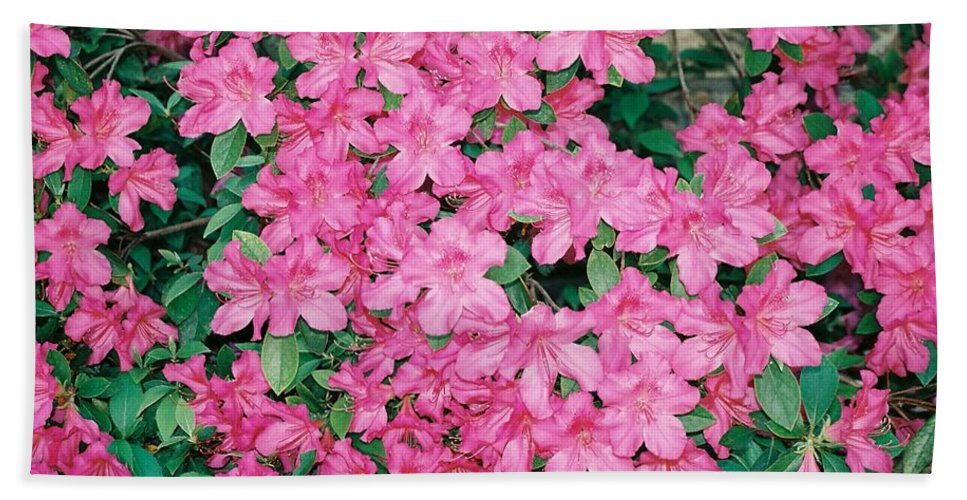 Lots Bath Sheet featuring the photograph Azaleas by Cindy New
