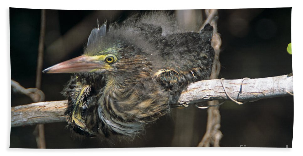 Family Ardeidae Hand Towel featuring the photograph Baby Green Heron Resting On A Branch by John Harmon