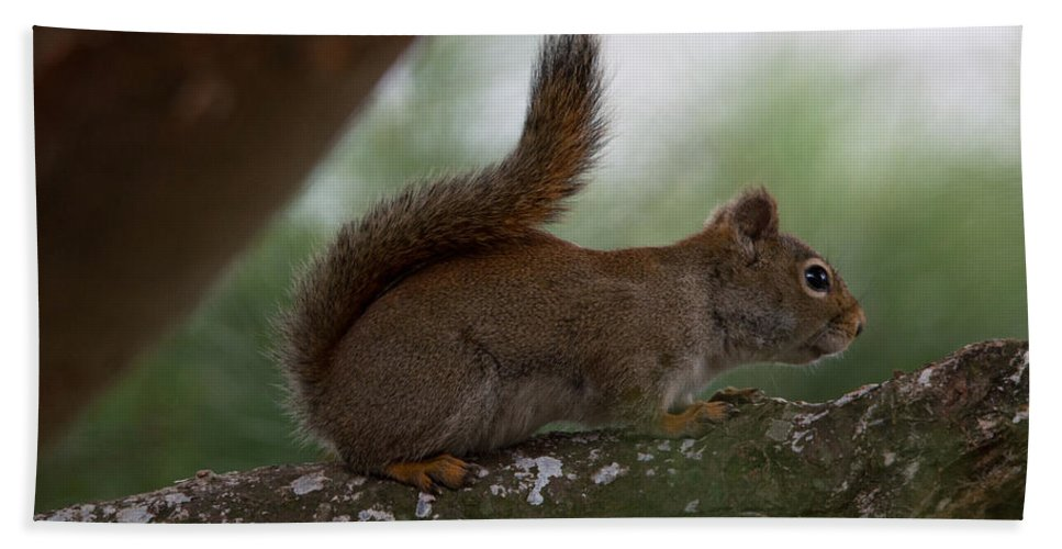 Squirrel Bath Sheet featuring the photograph Baby by Linda Kerkau