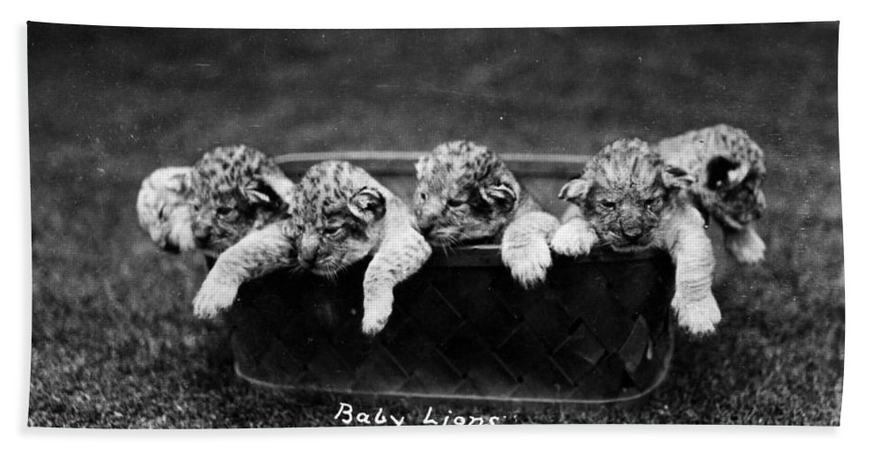 1890 Bath Sheet featuring the photograph Baby Lions, C1900 by Granger