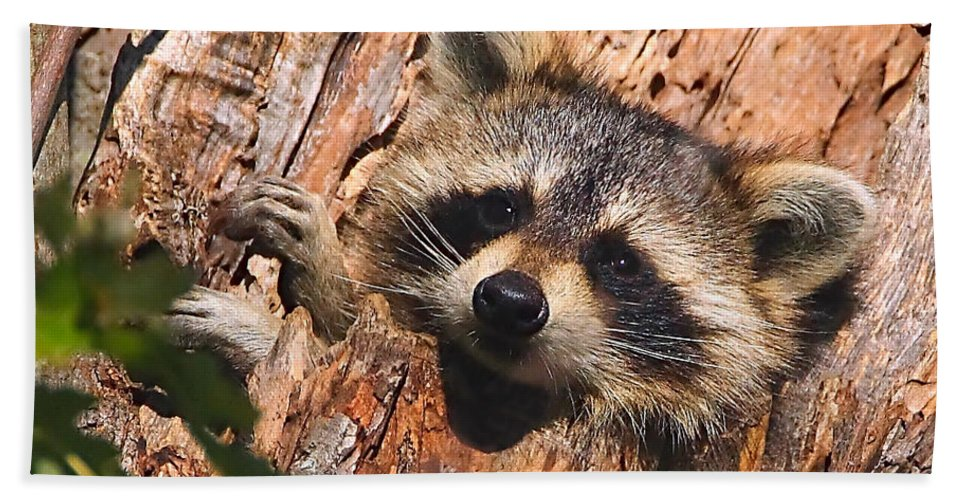 Raccoon Hand Towel featuring the photograph Baby Raccoon by William Jobes