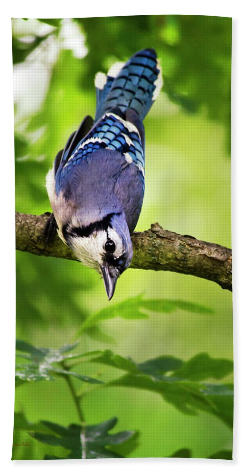 Bird Bath Sheet featuring the photograph Balanced Blue Jay by Christina Rollo