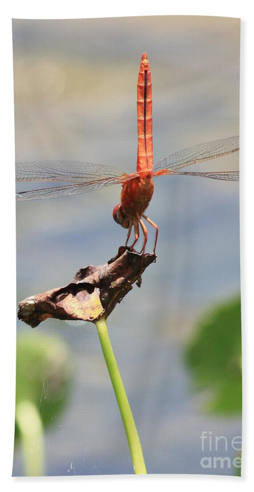 Red Dragonfly Bath Sheet featuring the photograph Balancing Act by Carol Groenen