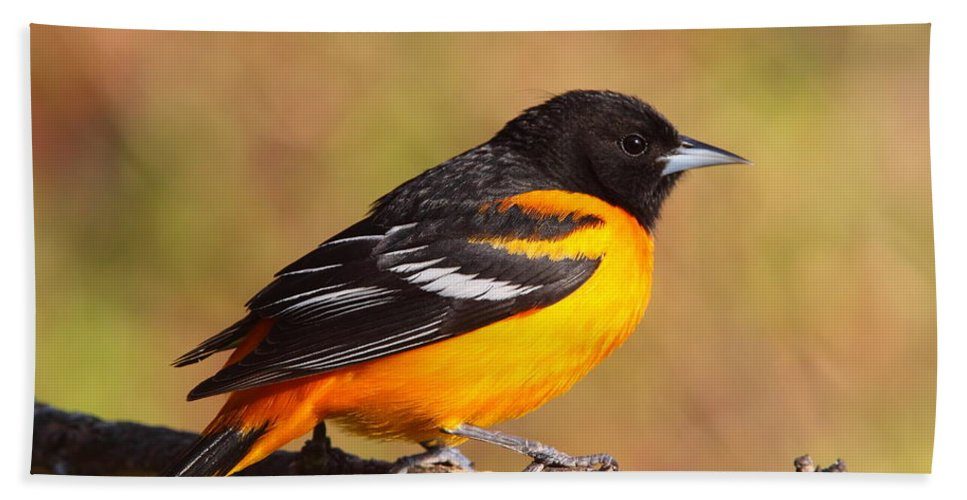 Oriole Bath Sheet featuring the photograph Baltimore Oriole IIi by Bruce J Robinson