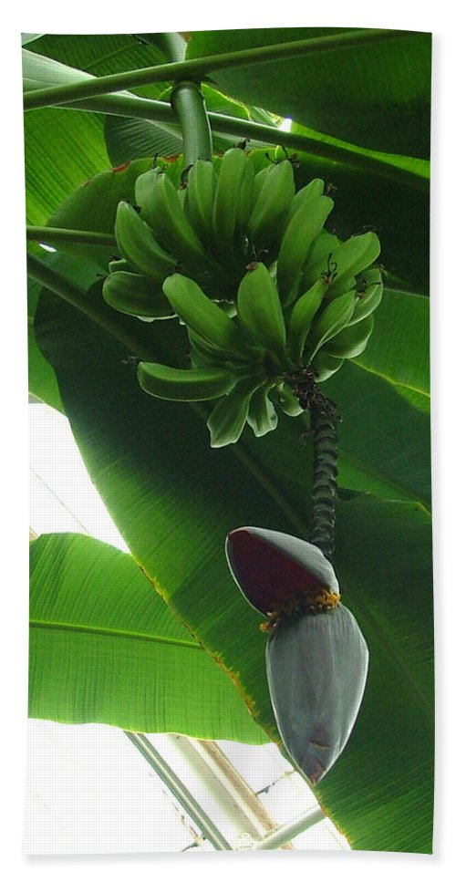 Kew Bath Sheet featuring the photograph Banana Plant Kew London England by Heather Lennox