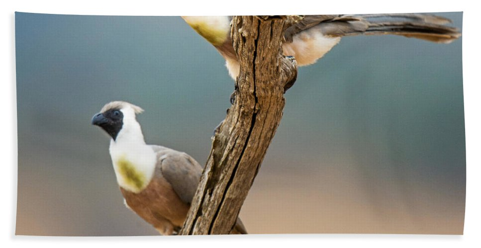 Photography Bath Sheet featuring the photograph Bare-faced Go-away-birds Corythaixoides by Panoramic Images