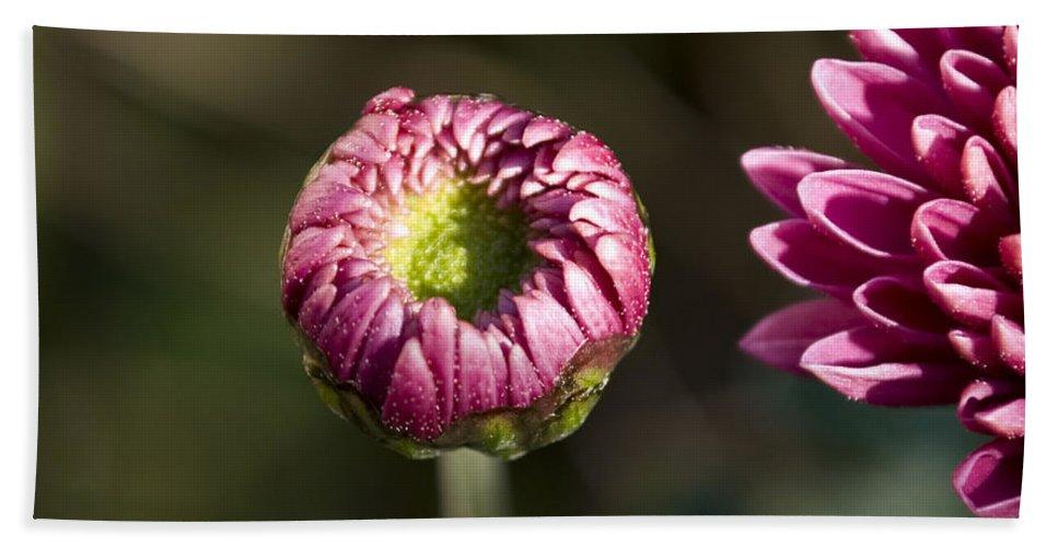 Chrysanthemum Hand Towel featuring the photograph Beginning by Svetlana Sewell