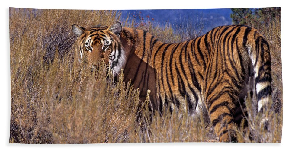Bengal Tiger Hand Towel featuring the photograph Bengal Tiger Endangered Species Wildlife Rescue by Dave Welling