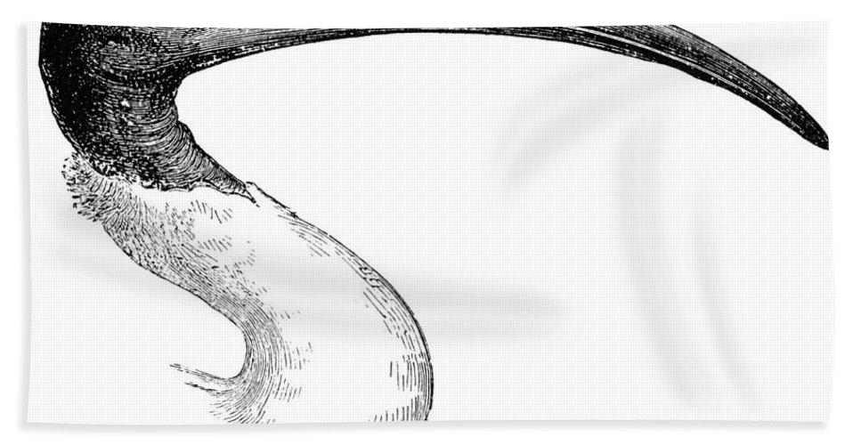Bernier Bath Sheet featuring the photograph Berniers Ibis by Granger