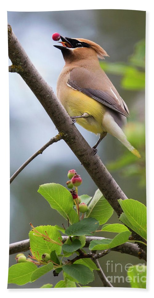Cedar Waxwing Hand Towel featuring the photograph Berry Gulp by Art Cole