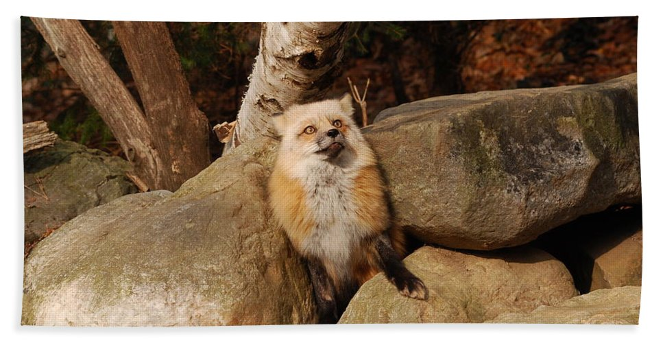 Fox Hand Towel featuring the photograph Best Foot Forward by Lori Tambakis