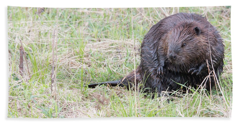 Nature Bath Sheet featuring the photograph Big Beaver by Linda Kerkau