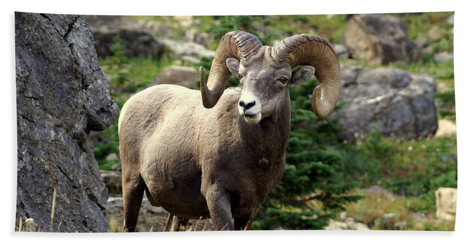 Big Horn Sheep Bath Sheet featuring the photograph Bighorn 1 by Marty Koch