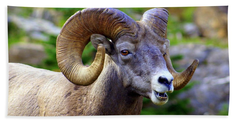 Big Horn Sheep Hand Towel featuring the photograph Bighorn 2 by Marty Koch