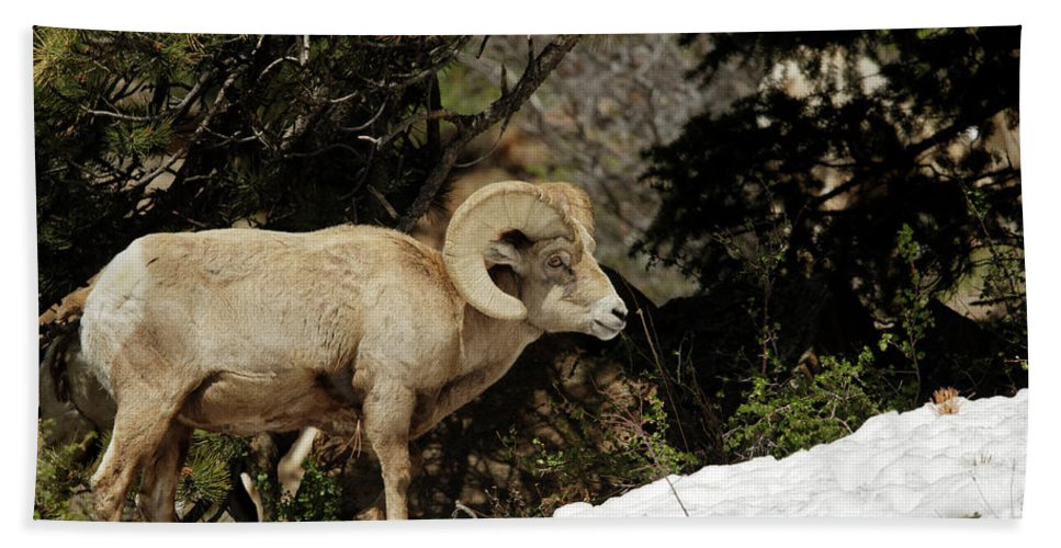 Bighorn Sheep Bath Sheet featuring the photograph Bighorn In The Rockies by Natural Focal Point Photography