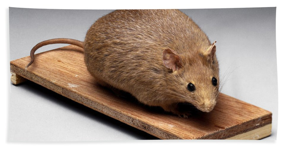 Science Bath Sheet featuring the photograph Bioengineered Obese Mouse, 1998 by Wellcome Images