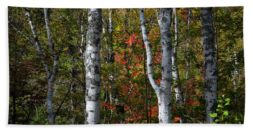 Birch Hand Towel featuring the photograph Birches by Elena Elisseeva