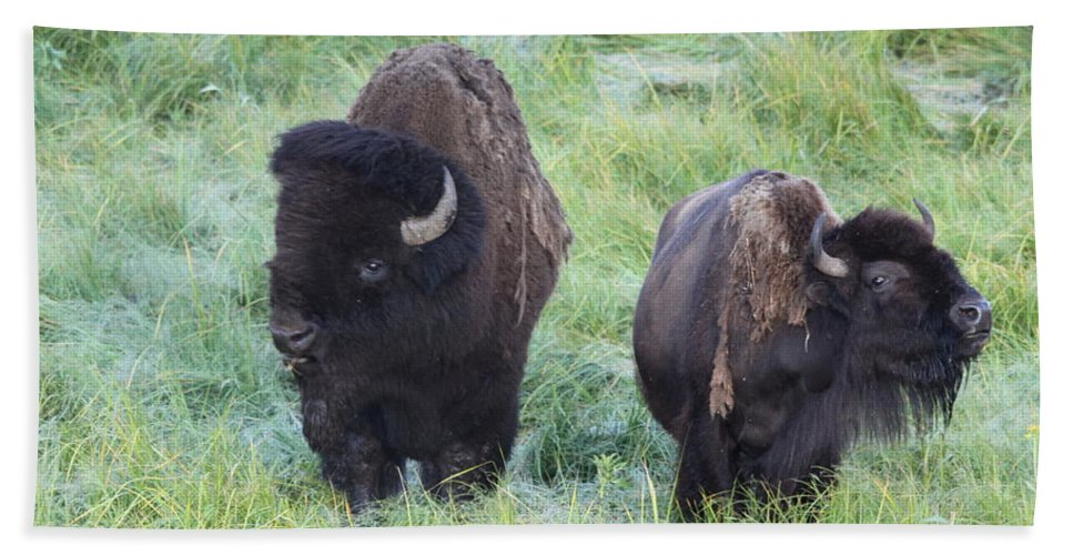 Bison Bath Sheet featuring the photograph Bison In Love Iv by Steve Aserkoff