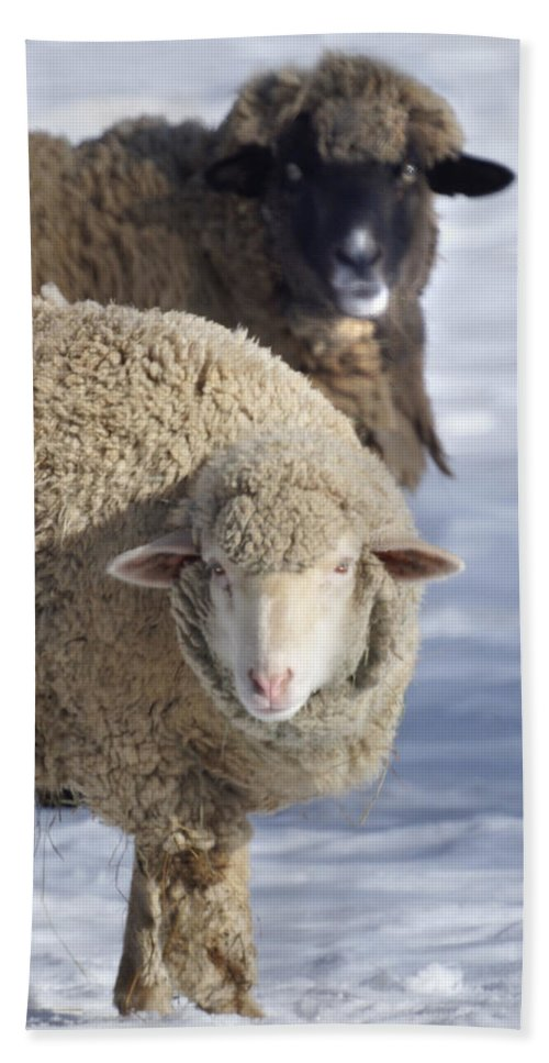 Sheep Hand Towel featuring the photograph Black And White by Heather Coen