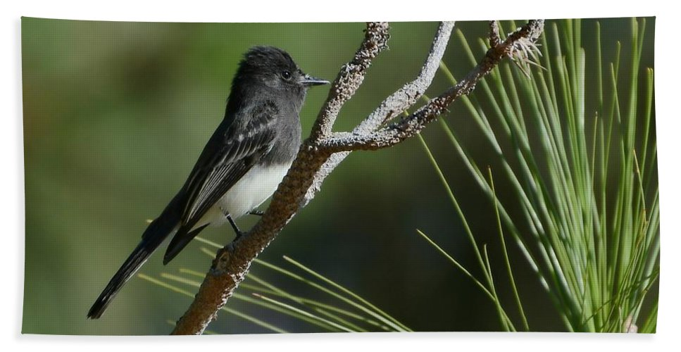 Black Phoebe Bath Sheet featuring the photograph Black Phoebe by Fraida Gutovich