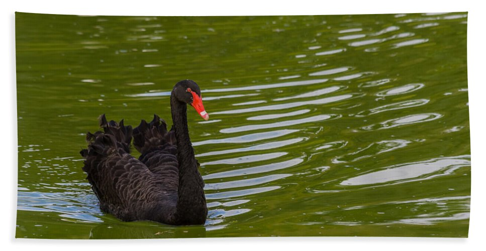 Australia Bath Sheet featuring the photograph Black Swan II by Ed Gleichman