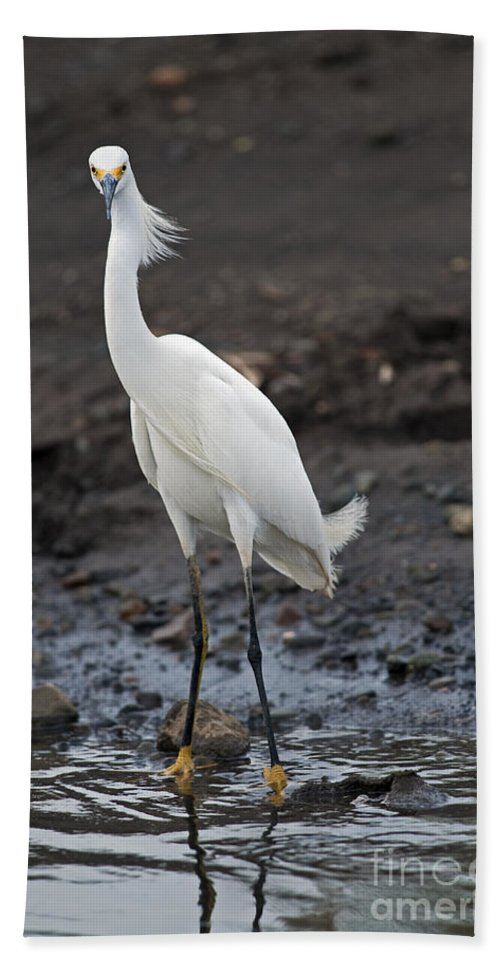 Snowy Egret Bath Sheet featuring the photograph Blond Beauty.. by Nina Stavlund