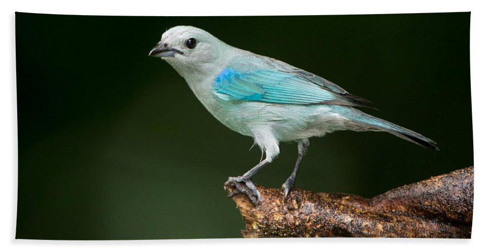 Photography Bath Sheet featuring the photograph Blue-gray Tanager Thraupis Episcopus by Panoramic Images
