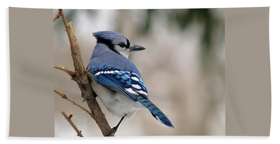 Blue Jay Hand Towel featuring the photograph Blue Jay by Gaby Swanson