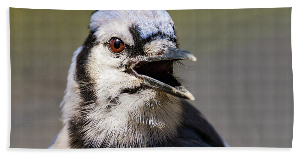 Blue Jay Hand Towel featuring the photograph Blue Jay Portrait by John Radosevich