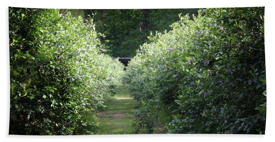 Blueberries Bath Sheet featuring the photograph Blueberry Bushes by Kim Henderson