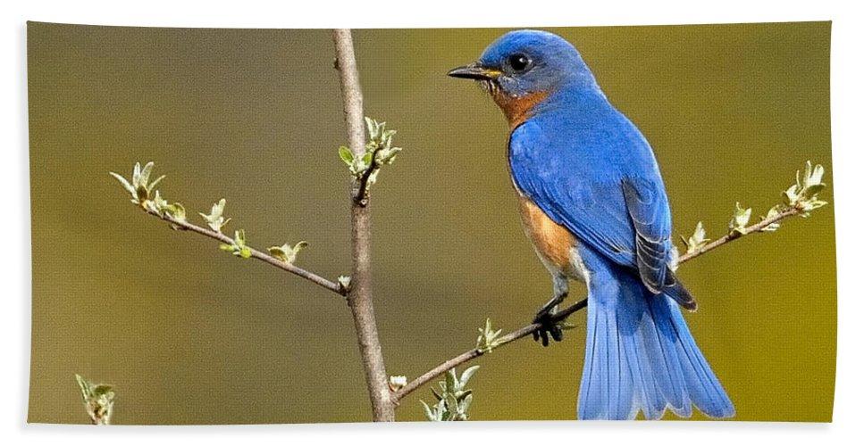 Bluebird Bath Sheet featuring the photograph Bluebird Bliss by William Jobes