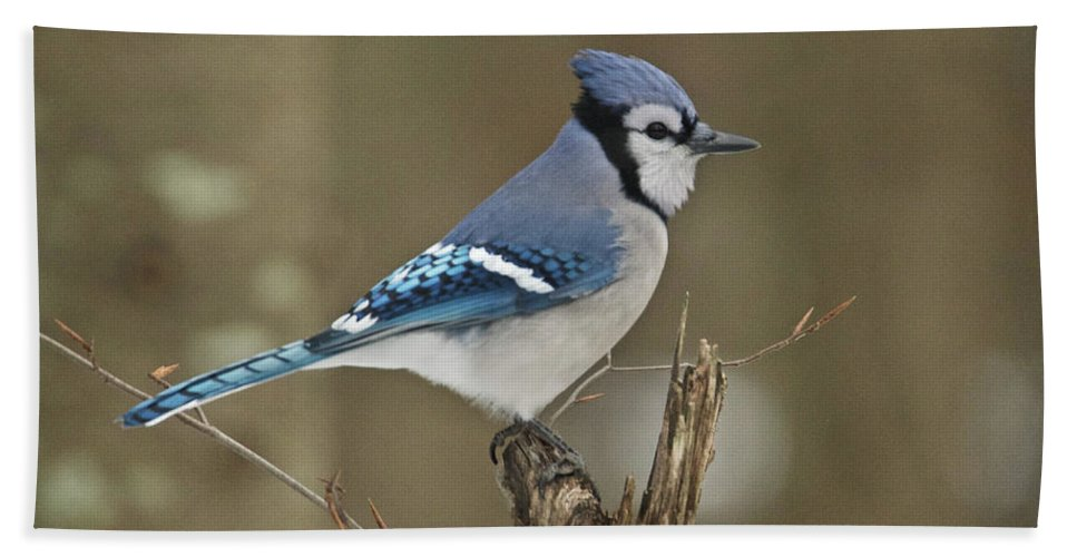 Bluejay Bath Sheet featuring the photograph Bluejay 012 by Michael Peychich