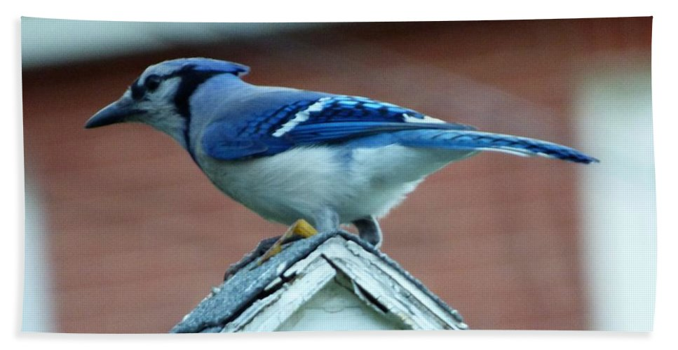 Bluejay Bird Maine Hand Towel featuring the photograph Bluejay by Scott Welton