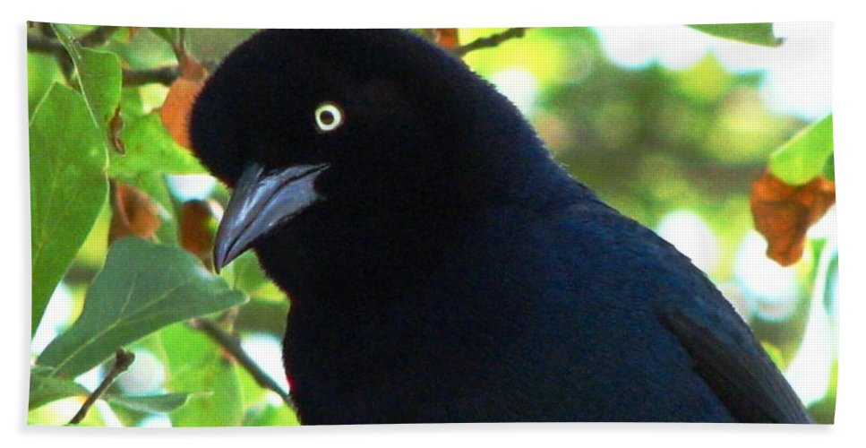 Bird Bath Sheet featuring the photograph Boat Tailed Grackle Close Up by J M Farris Photography