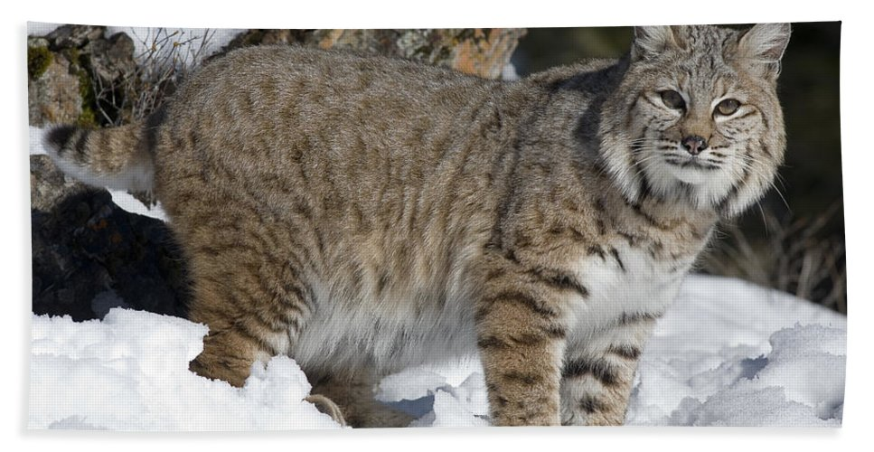 Mp Hand Towel featuring the photograph Bobcat Lynx Rufus In The Snow by Matthias Breiter